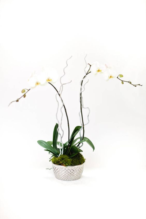 Want to make a statement? Consider this double stemmed specimen potted in a large silver bowl and accented with silver painted curly sticks. These beauties have a georgeous cascading shape and large lucious blooms that will wow anyone. From Multiflor via @Bloompop