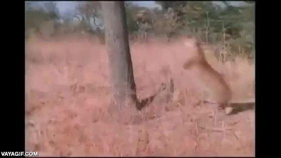 Si alguna vez te encuentras con un leopardo en una sabana, trepar a un árbol no es la solución