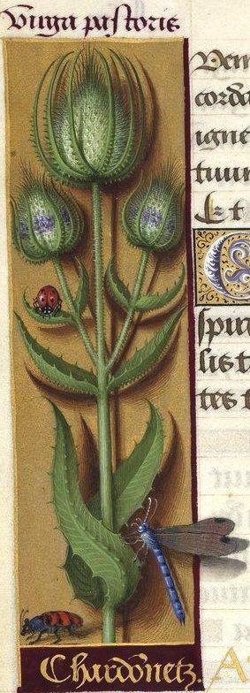 Chardonnetz - Virga pastoris (Dipsacus sylvestris Mill. = cardère sauvage) -- Grandes Heures d'Anne de Bretagne, BNF, Ms Latin 9474, 1503-1508, f°75v
