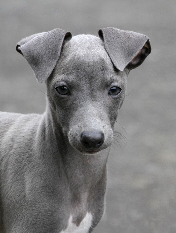 ~ Italian Greyhound Puppy ~sweet!  Her nose is halfway between cutie pie and elegant.