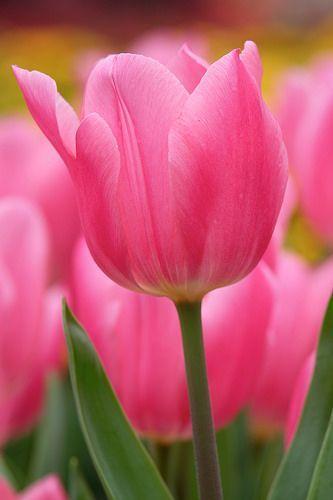 Bonito tulipán rosado | Pretty pink tulip