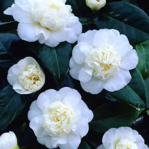 Buy Camellia Japonica White Best Value For Money Camellia Plant White Flowers Camellia
