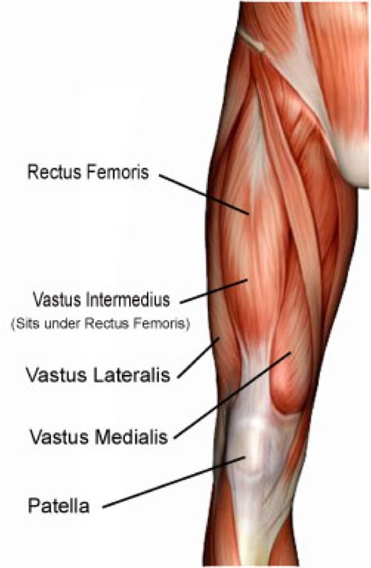 rectus-femoris.png (523×800) | bodynamic analysis