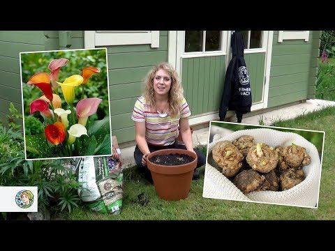 How To Plant Calla Lilies Bulbs Farmergracy Co Uk Youtube Lily Bulbs Calla Lily Bulbs Plants