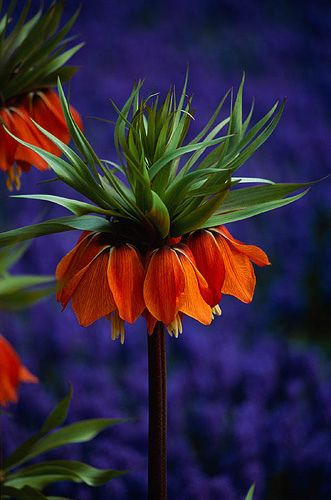 ~~ Fritillaria imperialis 'rubra' and muscari armeniacum ~~ @Courtney Baker Elliott (This is the flower I was telling you about!)
