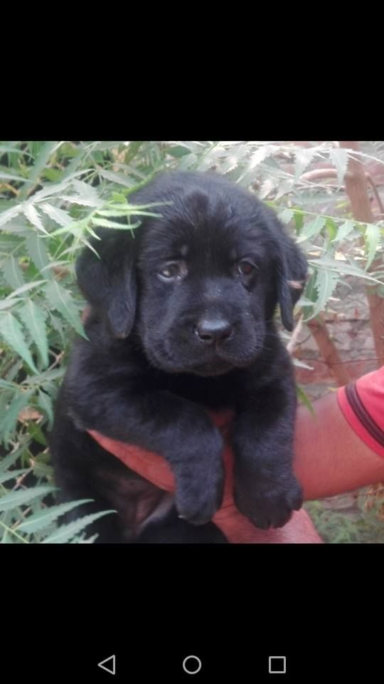 Two Black Female Pedigree Labrador Pups Labrador Pup Dogs For Sale
