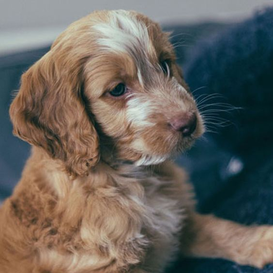 Cockapoo Puppies For Sale Near Me Cockapoo Breeders Cockapoo