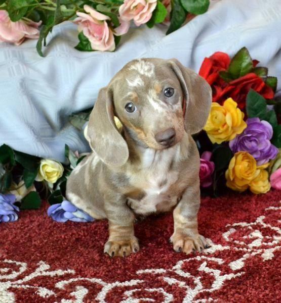Mini Dachshund Puppies For Sale Black Tan Doxie Breeder Short Hair Pups Dachshund Breed Dachshund Puppies Dapple Dachshund