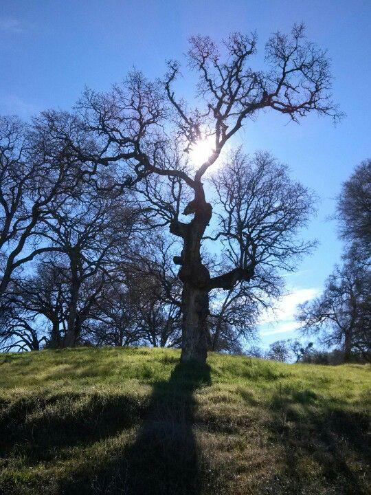Oak on walk in rsvl  ca