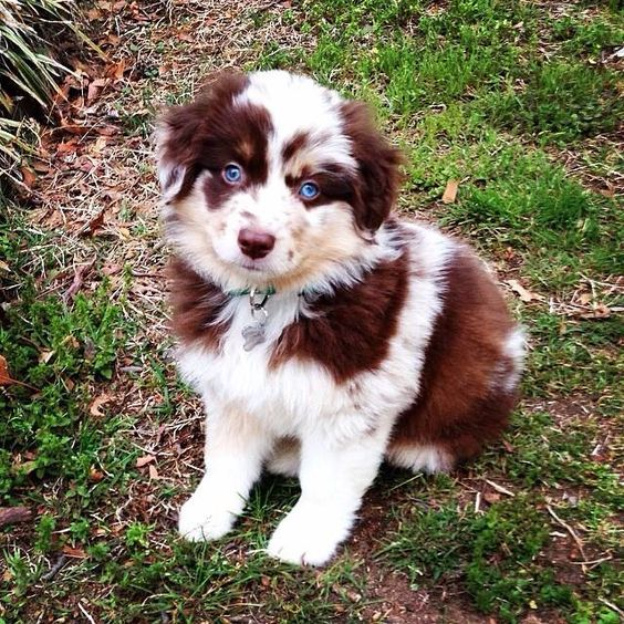 Miniature Red Merle Australian Shepherd Puppy, Brady, isn't he the cutest! Adorable mini Aussie!! Two different colored eyes on this Aussie!