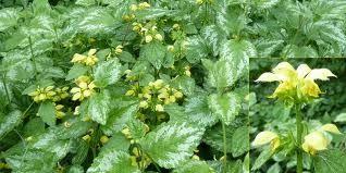 Gele dovenetel; Is zeldzamer dan de paarse en witte, bloeit alleen van mei tot juli. Geen familie van de brandnetel, bloemen geven een heel fijne smaak aan thee, salade en kruidenboter. Topjes kunnen gebruikt worden als bij brandnetels.