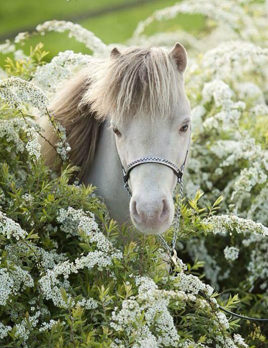 Eagerly awaiting EASTER Time flowers! Lovely white pony with gray mane. #DdO:) MOST #POPULAR RE-PINS -  https://www.pinterest.com/DianaDeeOsborne/flowers-beyond-expected/ - FLOWERS BEYOND EXPECTED... but easily fits on my GOREGEOUS HORSES #Pinterest Board:  Pretty white pony enjoying spring white bush similar to SPIREA in this photograph.  Pinned via  Kristi Hansen.