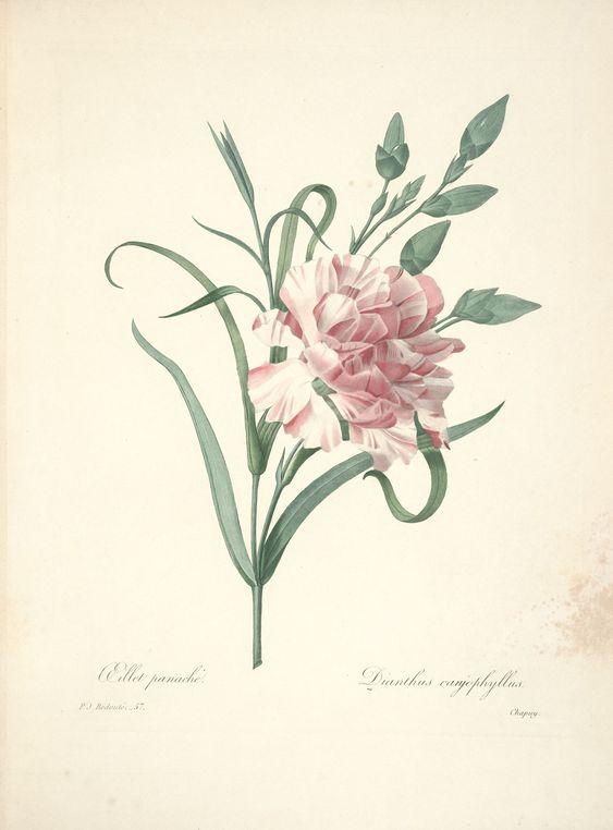 gravures de fleurs par Redoute - Gravures de fleurs par Redoute 082 oeillet…