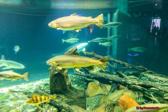 https://flic.kr/p/AMwrye | Traveling  #Deutschland #Stralsund #Rügen #Ostsee #BalticSea #Flickr #Foto #Photo #Fotografie #Photography #canon6d #Travel #Reisen #德國 #照片 #出差旅行 #Urlaub #Natur #Nature #Fisch #Animal