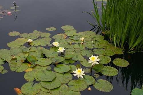 Tips for Growing Water Lilies