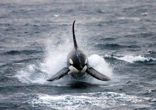 Killer Whale Surfs Waves Along British Coast In Stunning Sea Photo - Yahoo News UK. Orca swimming near Scotland!