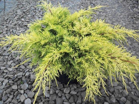 Gold lace juniper