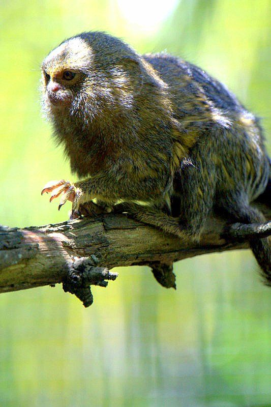 Pygmy Marmoset (one of the world's smallest monkey breeds) Auckland Zoo, Western Spring, New Zealand