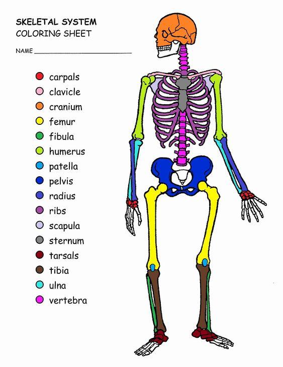 Skeleton Drawing Book Unique Axial Skeleton Coloring Page Saveoaklandlibrary Skeletal System Worksheet Anatomy Coloring Book Skeleton Drawings