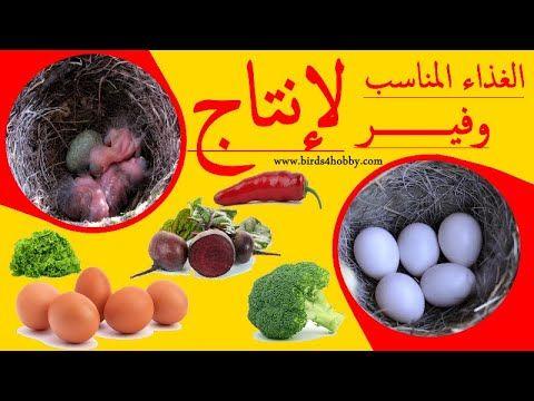 غذاء الطيور المناسب في موسم الإنتاج طائر الحسون طائر الكناري و طيور الحب Youtube Food Eggs Breakfast