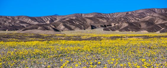 Death Valley Super Bloom 15