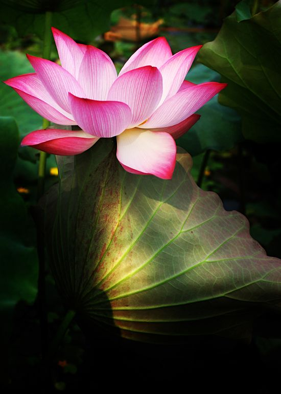 Lotus flowers mean purity of speech mind and body for Flowers that mean life