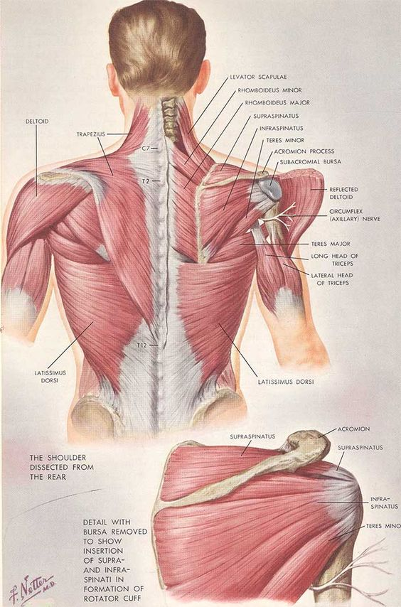 To effectively treat the shoulder. You must know the anatomy of it.