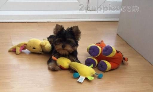 Find Your Dream Puppy Of The Right Dog Breed At Dogs Puppies