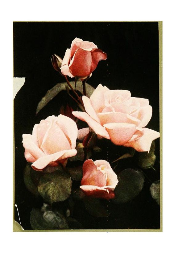 The rose book, a complete guide for amateur ros...  (Rose Madame Leon Pain [hybrid tea rose])