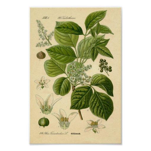 Het plantDruk van het gifsumak Poster