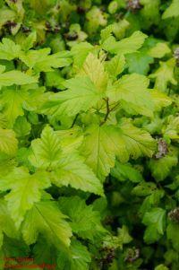 Zweig von Physocarpus opulifolius