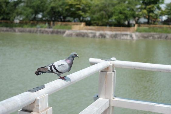 散歩が心地よい季節です。池の中には鯉と亀がたくさん泳いでいます。水上橋から顔を出して覗くとわんさか寄ってきます。橋にとまる鳩も気持ちよさそうです。 #京都 #長岡天満宮 #八条ヶ池 #水上橋 #鳩