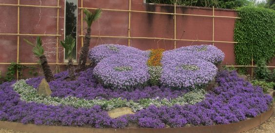Lila vlinderbloem