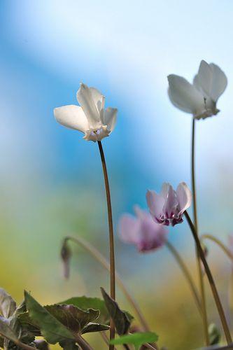 原種シクラメン  Cyclamen hederifolium