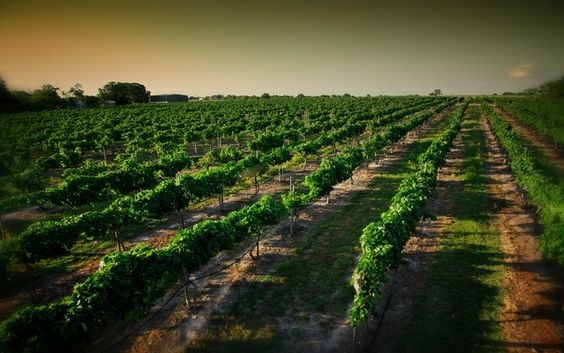 My wife and I have never visited a Texas winery. I heard @Messina Hof is having their annual Harvest celebration this year, so that will definitely be one to check off the list for us! - Jason - #HouBList - MyHoustonBucketList.com