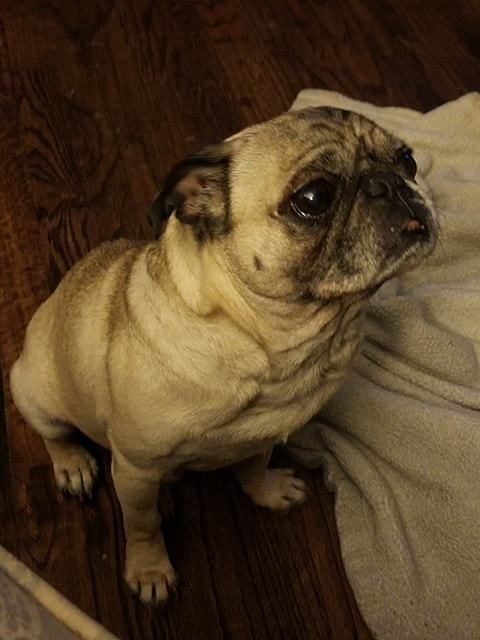 Adopt Jake Medical Hold On Pug Rescue Shelter Dogs Dogs