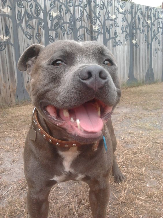 blue english staffordshire bull terrier blue male english staffordshire bull terrier lovable 1317