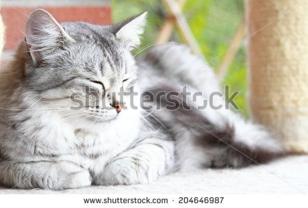 new on @shutterstock - silver cat of siberian breed
