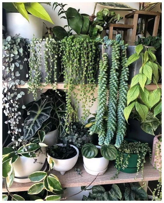 plants with leaves that trail down the planters #gardenIdeas #garden #gardening #plants #homeDecor #indoor #shelves