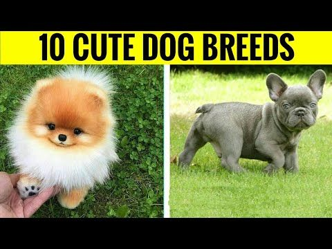 Top 10 Cutest Dogs Breeds In Hindi Youtube Cute Dogs Breeds