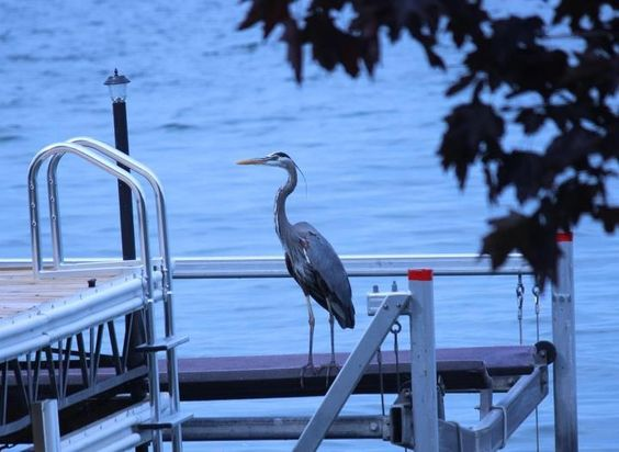 A Blue Heron on Lake Simcoe. Just relaxing on a dock