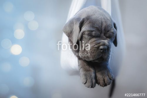 Portrait Of A Newborn Gray Cane Corso Puppy Sleeping In A Cane Corso Puppies For Sale Chicago Il In 2020 Cane Corso Puppies Sleeping Puppies Puppies For Sale Chicago