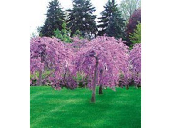 Cercis 'Lavender Twist®' Judasbaum, 1 Pflanze 1