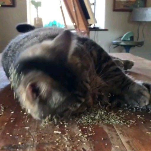 Catnip Cats Funny Video Catsdiybed Cute Cats And Dogs Funny Animals Cute Funny Animals