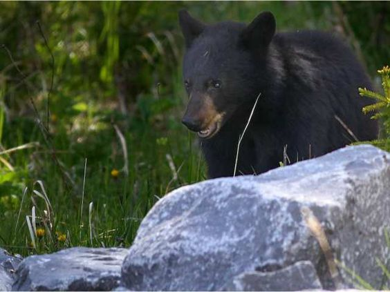 Black bear cub killed by train in Banff National Park