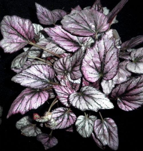 Rex Begonias  (Begonia rex-cultorum):