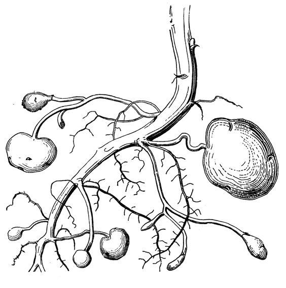 Potato Root | ClipArt ETC