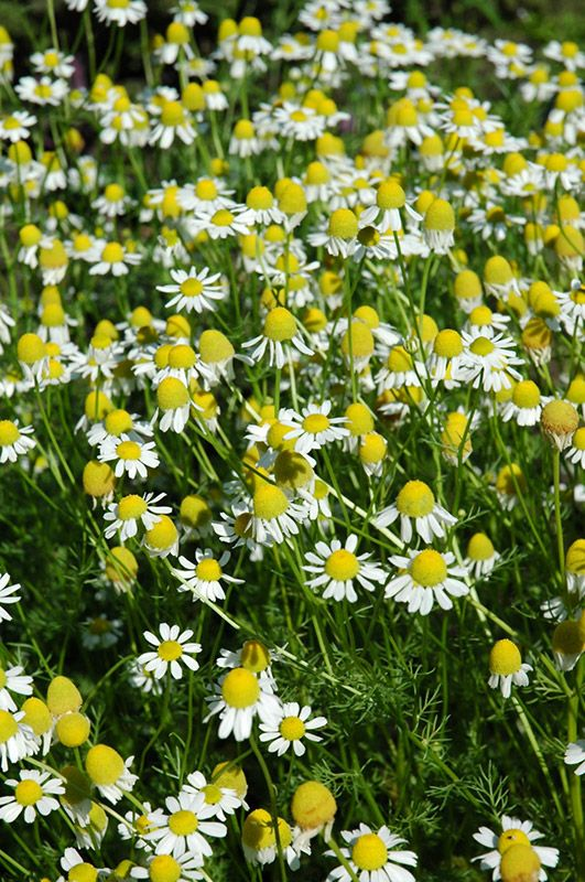 """Chamomile 24""""h  Full sun to part shade.  Hardy to Zone 2."""