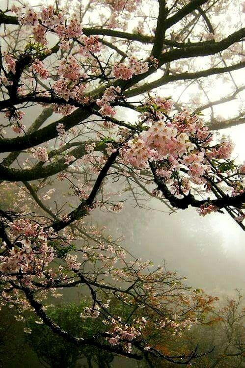 Pin By Anne Witmer On Geisha Blossom Trees Tree Photography Sakura Tree