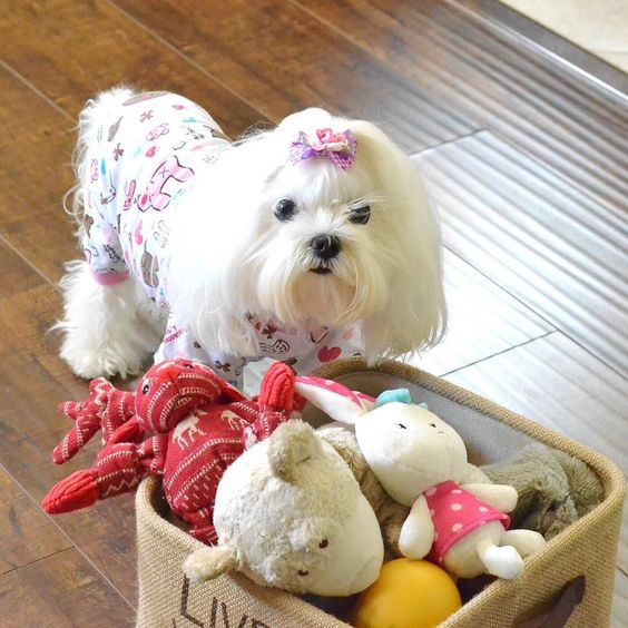 Picking My Toys to Play! Sorry about My Outfit! Don't Think I Always Wear Pajama During the Day! It's Just Sunday Thing!  Mommy Still Adding Furiends to Follow! It will take 1-2 Weeks! Thanks for being So Patient!  #weekend #WoofPackBros  #maltesedog #bow #DogHat #Hat #Flower #dogbows #cutepuppy #cutedog #dog #puppy #maltese #tissuedog #puppylove #poochgram #photooftheday #dogs #instadog #instapuppy #maltesepuppy #whitedog #picoftheday #picoftheday #tissue #dogfashion #fashion #harness by puppy_tissue #lacyandpaws